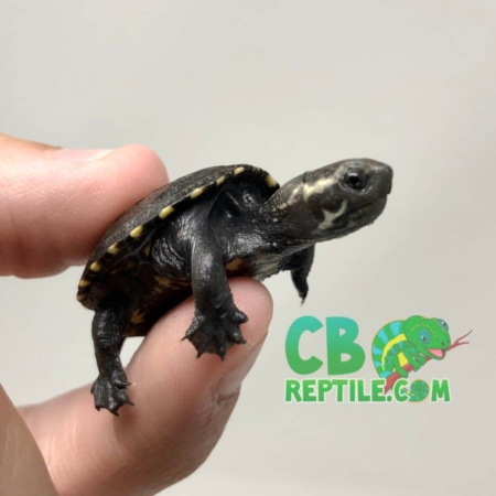 Common Mud Turtle
