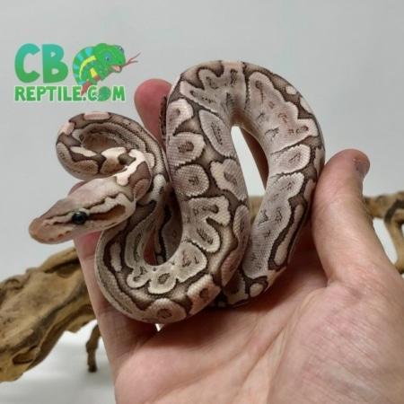 Pastel Bamboo ball python