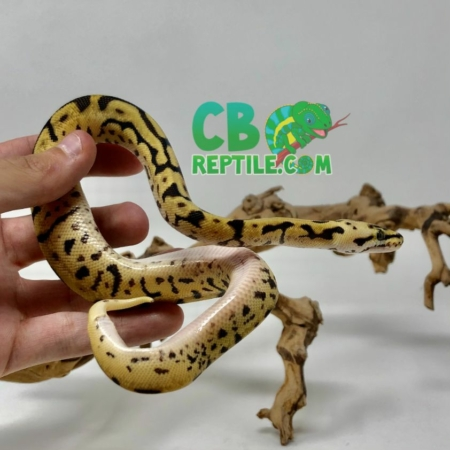 baby Leopard Killer Bee bally python for sale
