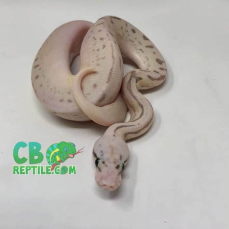 leopard spark killer bee ball python