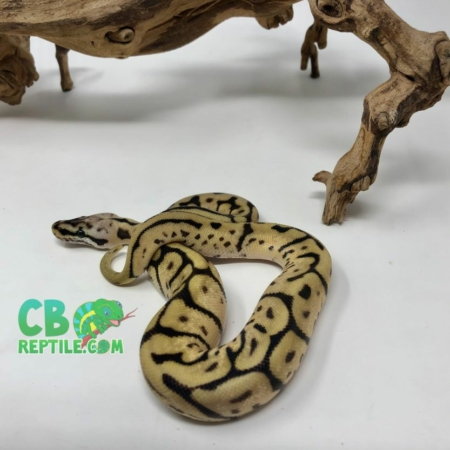 Leopard Bumblebee HET Ghost ball python