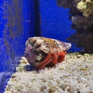 saltwater hermit crabs