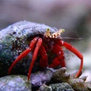 marine hermit crab