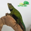 Emerald swift