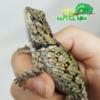 Emerald swift breeder