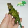Emerald swift breeders