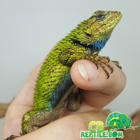 emerald swift for sale