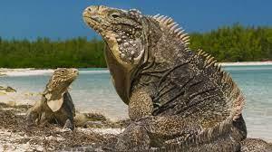 Cuban Rock Iguana for sale