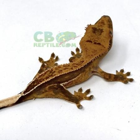 Quad Stripe Crested Gecko